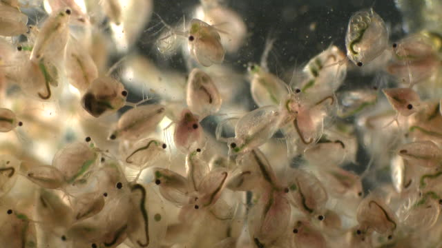 water fleas (daphnia sp.): common planktonic crustaceans in eutrophic swamps and freshwater environments. their sort lifespans and reproductive capibilities make them a useful indicator species. - magnification stock videos & royalty-free footage