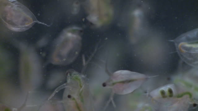 water fleas (daphnia sp.): common planktonic crustaceans in eutrophic swamps and freshwater environments. their sort lifespans and reproductive capibilities make them a useful indicator species. - daphnia stock videos and b-roll footage