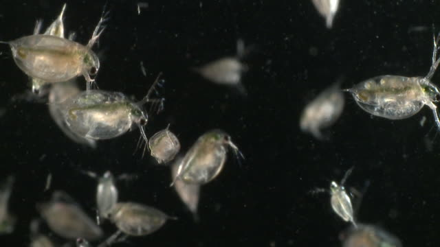 water fleas (daphnia sp.): common planktonic crustaceans in eutrophic swamps and freshwater environments. their sort lifespans and reproductive capibilities make them a useful indicator species. 40mm luminar slow motion. - daphnia stock videos and b-roll footage