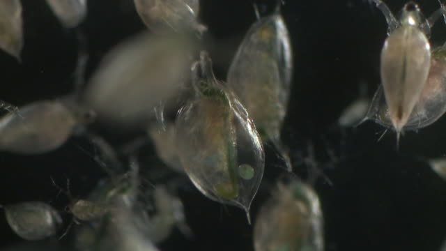 water fleas (daphnia sp.): common planktonic crustaceans in eutrophic swamps and freshwater environments. their sort lifespans and reproductive capibilities make them a useful indicator species. 40mm luminar slow motion - daphnia stock videos and b-roll footage