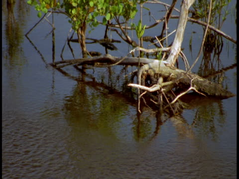 water flows around mangroves in the everglades. - twig stock videos & royalty-free footage