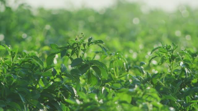 water from an irrigation spray falls on a field of green potato plants. - fotosintesi video stock e b–roll
