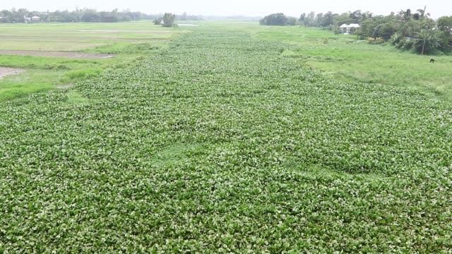 water hyacinth growing on lake dhaka - ヒヤシンス点の映像素材/bロール