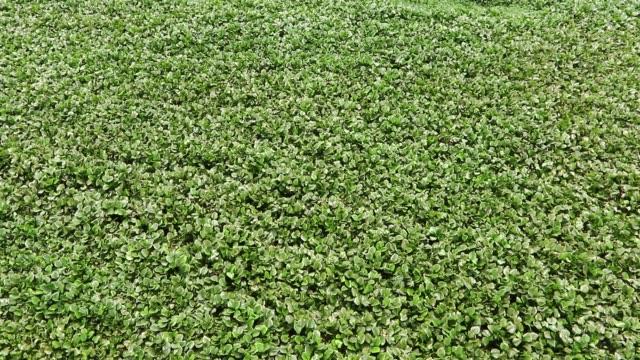water hyacinth growing on lake dhaka - hyacinth stock videos & royalty-free footage