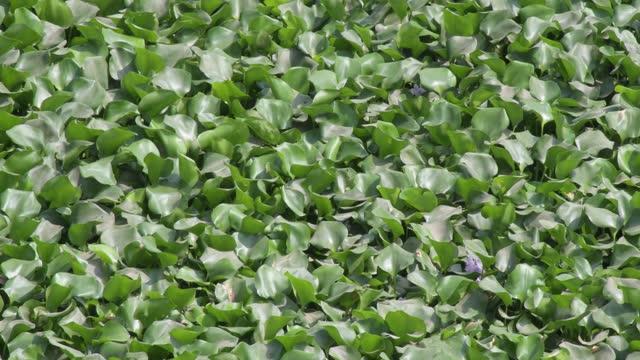 water hyacinth growing on lake in savar on march 31, 2021 near dhaka, bangladesh. - aquatic plant stock videos & royalty-free footage