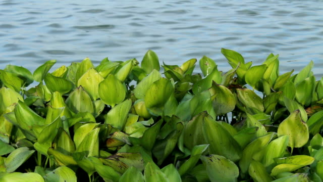 water hyacinth in river - riverbank stock videos and b-roll footage