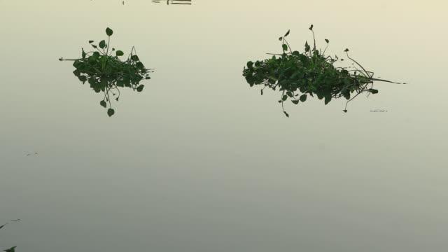 vídeos y material grabado en eventos de stock de planta del jacinto de agua flotando en el río de orontes - water plant