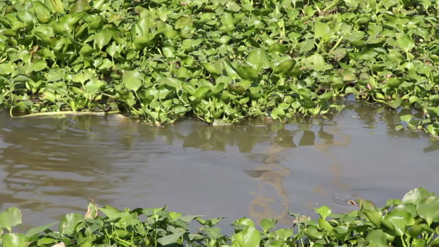 water hyacinth - riverbank stock videos & royalty-free footage