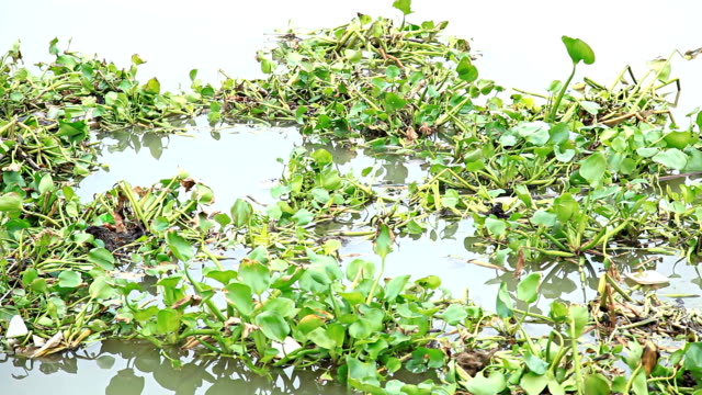 water hyacinth - hyacinth stock videos & royalty-free footage