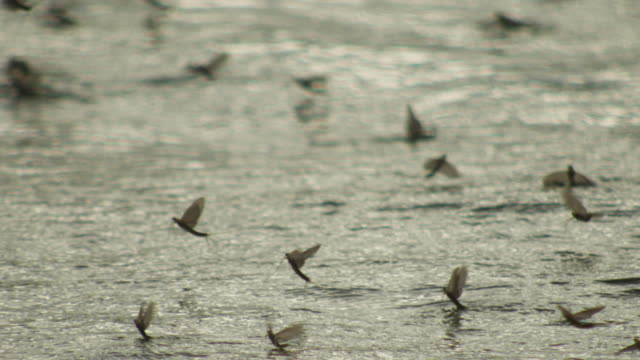 Water level group of Long tailed Mayflies hatching and taking off from surface of Tisza river