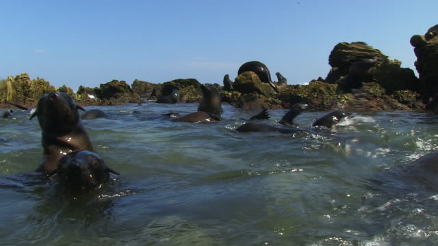 water level shot of south american fur seals swimming and playing close to camera - cape fur seal stock videos & royalty-free footage