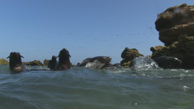 vídeos y material grabado en eventos de stock de water level shot of south american fur seals swimming and playing close to camera with massed birds flying in background - foca peluda del cabo