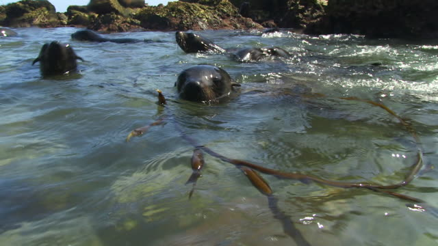 water level shot of south american fur seals swimming and playing with seaweed close to camera - 40 seconds or greater stock videos & royalty-free footage