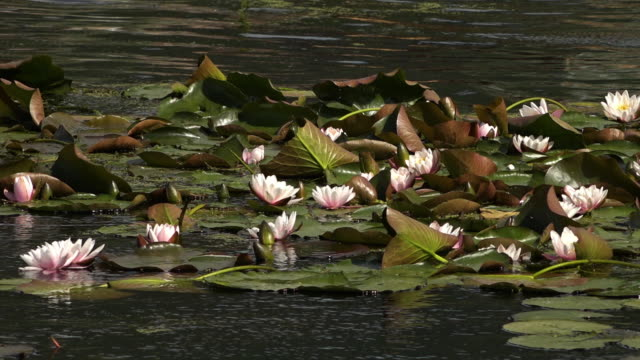 water lilies blowing in a stiff breeze - aquatic plant stock videos & royalty-free footage