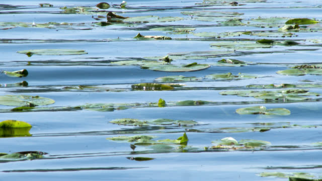 water lilies moving on waves on a scottish loch - water plant stock videos & royalty-free footage