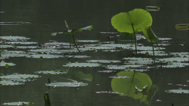 water lilies on lake, beijing - water plant stock videos and b-roll footage