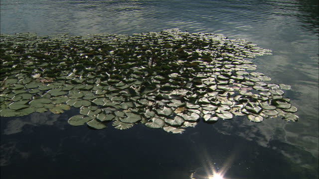 vídeos de stock e filmes b-roll de ws water lilies on lake surface / bled, slovenia - lago bled