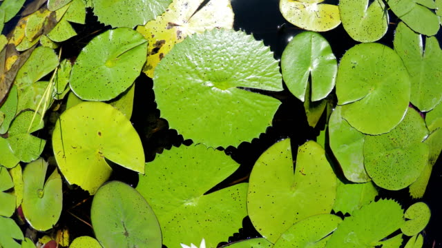 water lilies on river surface - french overseas territory stock videos & royalty-free footage