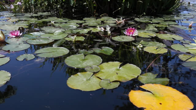 ms water lilies on small lake, san juan capistrano, california, usa - lily stock videos and b-roll footage