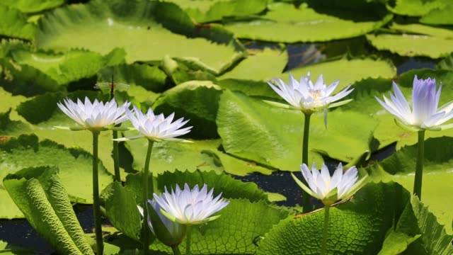 water lillies growing on marshland in the shire valley near bangula, malawi, africa. - lily stock videos & royalty-free footage