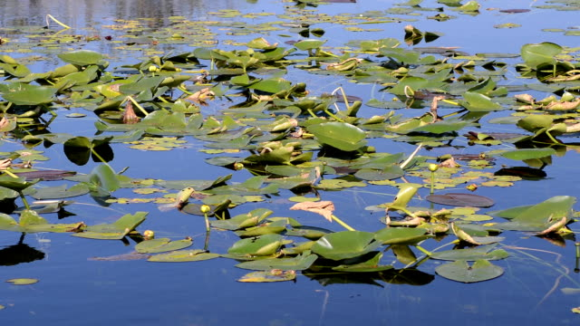 Water lillies in a swamp in the Everglades, Florida, USA
