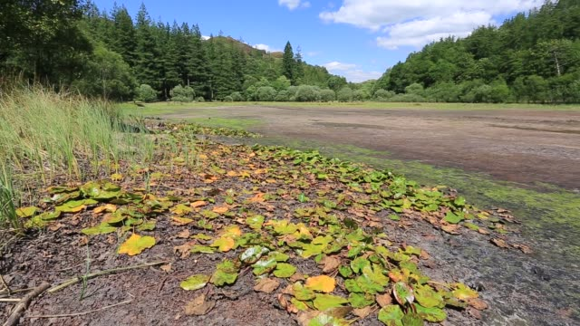 water lillies left high and dry in yew tree tarn near coniston, lake district, uk, which is virtually dry due to the ongoing drought like conditions, summer 2018. - aquatic plant stock videos & royalty-free footage