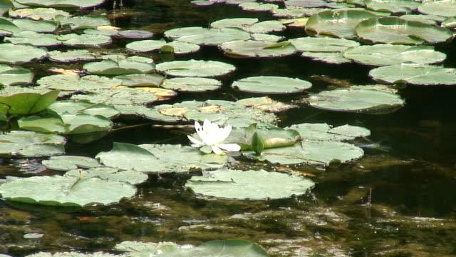 vídeos de stock e filmes b-roll de água lilly 2-hd 1080/60i - planta d'água