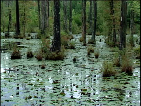 ws ms pan ha water, lilly pads and trees in swamp - south carolina stock videos & royalty-free footage