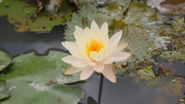 water lily / bali, indonesia - thin stock videos & royalty-free footage