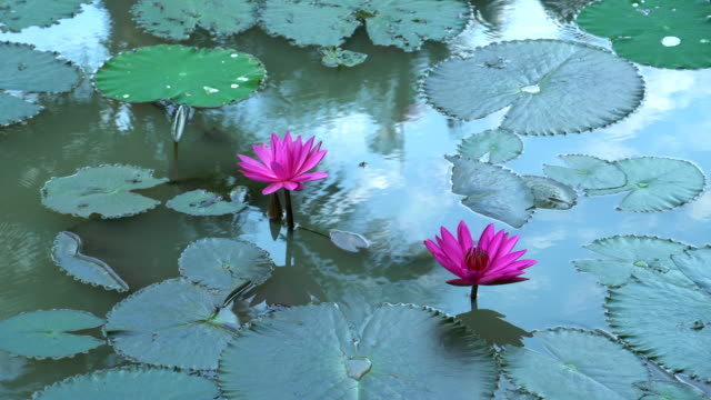 water lily blooming in pond at morning - lily stock videos & royalty-free footage