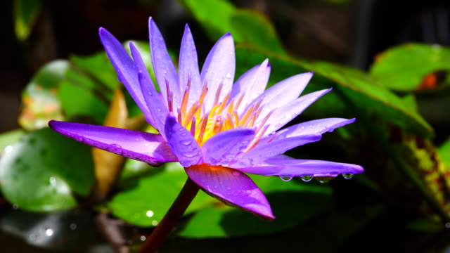 4k: water lily blooming in pond at water drop - tiger lily stock videos & royalty-free footage