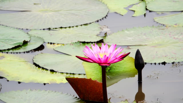 4k: water lily blooming in pond - tiger lily stock videos & royalty-free footage