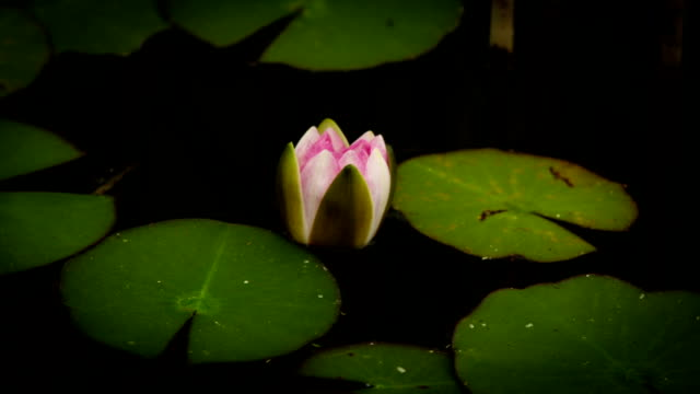 water lily blooming timelapse - lily stock videos & royalty-free footage