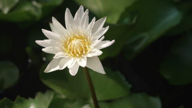 vídeos y material grabado en eventos de stock de 4k: nenúfar en flor. - organismo acuático
