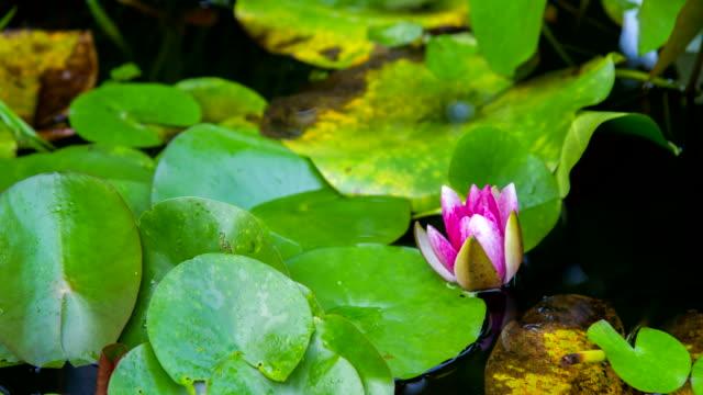 vídeos de stock, filmes e b-roll de f/l em flor de lírio d'água - raw footage