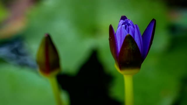Water lily blooming (time lapse)