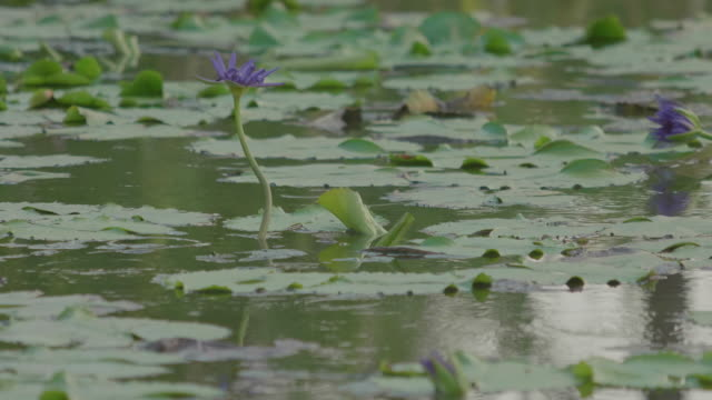4k: water lily blooming with bird in the lake at water drop. - plant pod stock videos & royalty-free footage