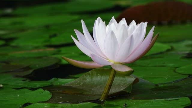 water lily flower blooming in pond - lily stock videos & royalty-free footage