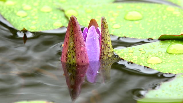 4k: water lily flower blooming in raining - tiger lily stock videos & royalty-free footage