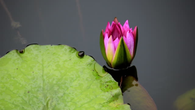 water lily flower blooming time lapse - lily stock videos & royalty-free footage