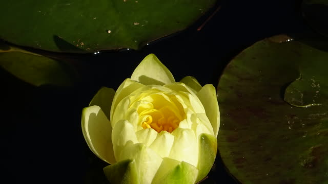 water lily flower closing in pond - floating on water stock videos & royalty-free footage