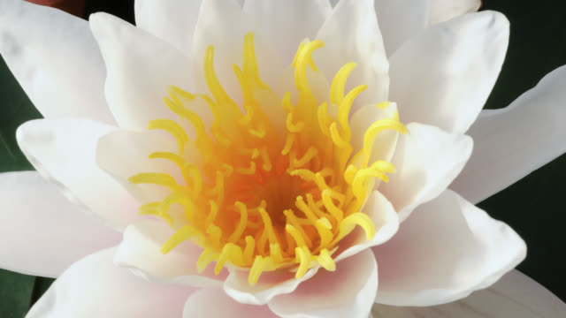 tl water lily flowers in lake, uk - bud stock videos & royalty-free footage