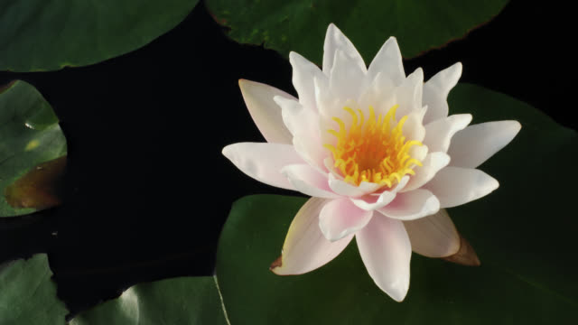 tl water lily flowers in lake, uk - aquatic plant stock videos & royalty-free footage