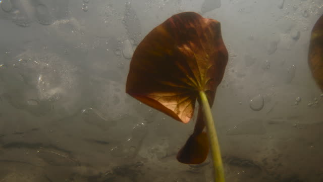 vidéos et rushes de tl water lily grows in frozen lake in spring, uk - tige d'une plante
