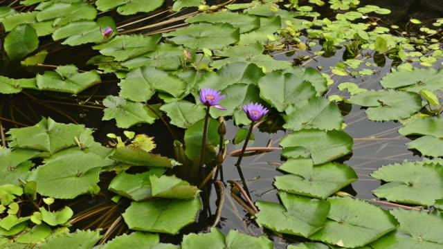 water lily in a pool on rainy day. - day lily stock videos & royalty-free footage