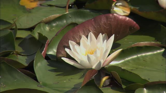 vídeos de stock e filmes b-roll de cu water lily in lake / bled, slovenia - lago bled