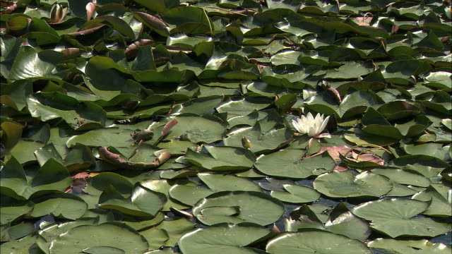 ms water lily in lake / bled, slovenia - lake bled stock videos & royalty-free footage