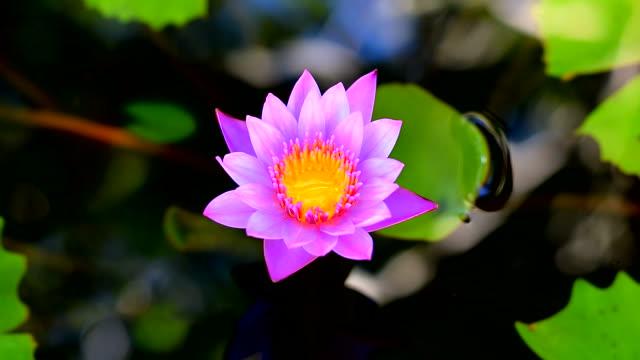 stockvideo's en b-roll-footage met waterlelie in de natuur - lotuspositie