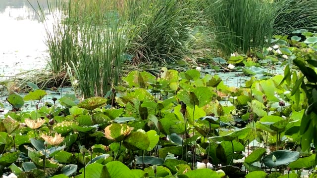 water lily in polluted water - aquatic plant stock videos & royalty-free footage