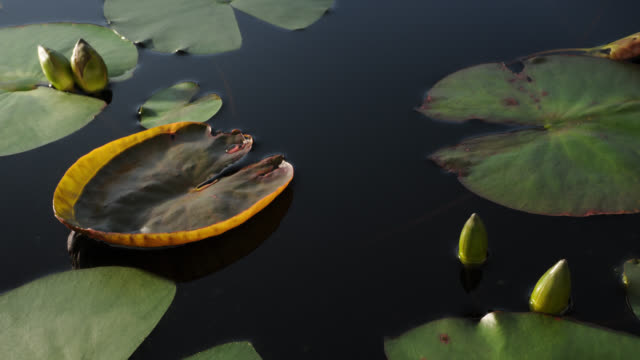 tl water lily leaves emerge from lake, uk - surfacing stock videos & royalty-free footage